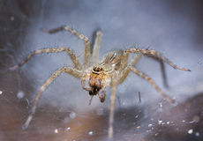 Tan Spider op spinnewebperspectief Stock Foto