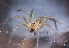 Tan Spider sulla prospettiva della ragnatela Fotografia Stock