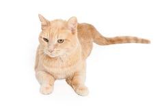 Tan Tabby Cat linda Fotografía de archivo
