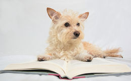 Tan terrier dog laying on open book Stock Images