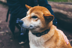 Tan and White Akita Puppy Stock Images