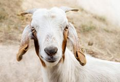 Tan and White Billy Goat royalty free stock photo