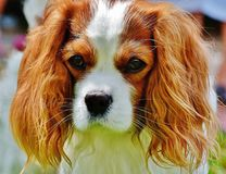 Tan and White Cavalier King Charles Spaniel Stock Image