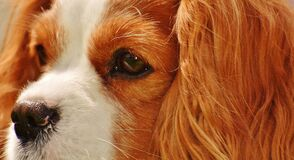 Tan White Cavalier King Charles Spaniel Stock Photography