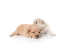 Tan and White Colored Pomeranian Newborn Puppies Stock Photo