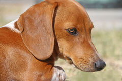Tan and white dachshund puppy dog head shot Stock Image