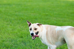 Tan and white dog looking silly outdoors with copy space. Large white and tan dog outdoors with floppy ears and tongue sticking out looking funny and silly in Stock Images