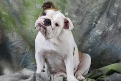 English Bulldog Puppy Royalty Free Stock Photos