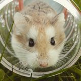 Tan White Guinea Pig Inside White Glass Jar Stock Images