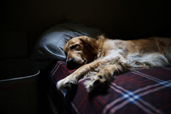Tan and White Long Coated Dog on Red White and Blue Plaid Bed Linen Stock Photos