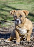 Short legged tan mutt puppy dog, Georgia USA Stock Photography
