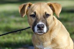 Short legged tan mutt puppy dog, Georgia USA Royalty Free Stock Photography