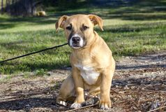 Short legged tan mutt puppy dog, Georgia USA Royalty Free Stock Photos