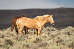 Wild Wyoming Mustang on the High Plains. Tan wild mustang on the high plains of Wyoming standing in sage brush royalty free stock photos