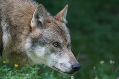 Tan Wolf on Flower Field during Daytime Stock Image