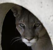 Tana dei leoni Fotografie Stock Libere da Diritti
