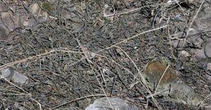 Tana parteggiata rossa del serpente di giarrettiera in Narcisse, Manitoba fotografia stock libera da diritti