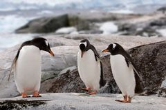 tana pingwinu praktyka Obrazy Stock