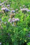 Выгон пчелы tanacetifolia- Blomming Phacelia Стоковое Изображение RF