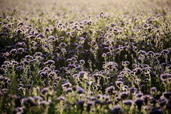 Tanacetifolia de Phacelia Photo stock