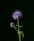 Tanacetifolia van Phacelia Royalty-vrije Stock Afbeeldingen
