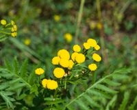 Tanaceto di fioritura o tanacetum vulgare, bottoni dorati, macro, fuoco selettivo, DOF basso Fotografie Stock Libere da Diritti