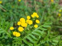 Tanaceto di fioritura o tanacetum vulgare, bottoni dorati, macro, fuoco selettivo, DOF basso Immagini Stock