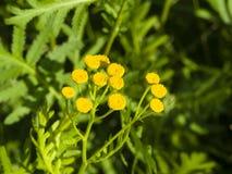 Tanaceto di fioritura, tanacetum vulgare, bottoni dorati, macro, fuoco selettivo Fotografie Stock