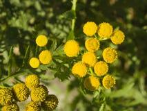 Tanaceto di fioritura, tanacetum vulgare, bottoni dorati, macro, fuoco selettivo Fotografia Stock Libera da Diritti