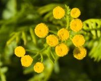 Tanaceto di fioritura, tanacetum vulgare, bottoni dorati, macro, fuoco selettivo Immagini Stock