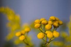 Tanaceto sugli sfondi naturali confusi Fiore di autunno e di estate Fotografia Stock