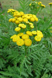 Tanaceto (tanacetum vulgare) fotografie stock