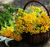 Tanacetum пижмы - постоянный сложноцветные Compositae herbaceous заводов Сбор трав целебного сырья стоковые изображения