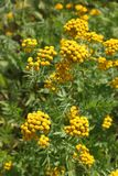 Tanacetum. Yellow flowers of tansy closeup on meadow. Tanacetum. Abundant flowering of tansy in the North of Siberia stock image