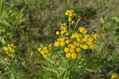 Tanacetum. Aromatic and tall yellow flower without petals Royalty Free Stock Photo