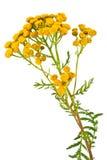Tanacetum de floraison Images stock