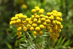 Tanacetum. Flowers of tansy closeup on meadow. Tanacetum. Abundant flowering of tansy in the North of Siberia royalty free stock image