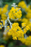 Tanacetum flowers Stock Photography
