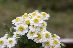 Tanacetum parthenium dziki kwiat w kwiacie Obrazy Stock