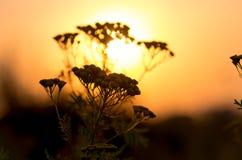 Tanacetum vulgare del tanaceto Fotografia Stock Libera da Diritti