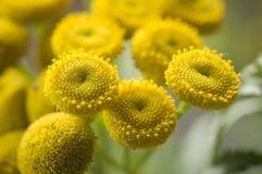 Tanacetum vulgare detail Royalty-vrije Stock Foto's