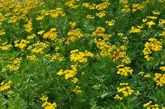 Tanacetum vulgare. Stock Images