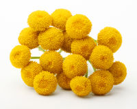 Tanacetum Vulgare flowers isolated Royalty Free Stock Images
