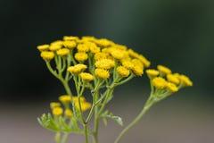 Tanacetum vulgare w zielonej lato łące, miękka selekcyjna ostrość Wildflowers tansy koloru żółtego tło zamknięci kwiaty up kolor  Obrazy Royalty Free