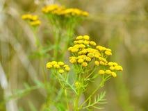 Tanacetum vulgare w zielonej lato łące, miękka selekcyjna ostrość Wildflowers tansy koloru żółtego tło zamknięci kwiaty up kolor  Zdjęcia Stock