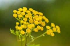 Tanacetum vulgare w zielonej lato łące, miękka selekcyjna ostrość Wildflowers tansy koloru żółtego tło zamknięci kwiaty up kolor  Zdjęcie Stock