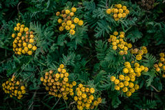 Tanacetum vulgare Royalty Free Stock Images