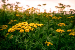 Tanacetum vulgare Royalty Free Stock Photo