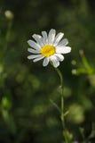 Tanacetumcinerariifolium - Pyrethrum Arkivbild