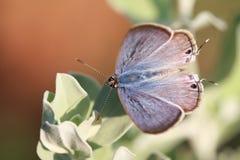 tanaecia πεταλούδων SSP Στοκ Εικόνα
